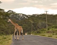Giraffe auf dem Heimweg